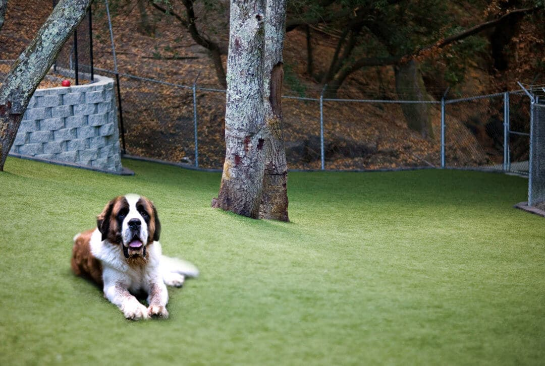 Zeke, the St. Bernard is on vacation at Club K9!