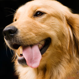 Golden Retriever enjoying a vacation at Club K9 the ultimate in dog boarding and dog daycare services.