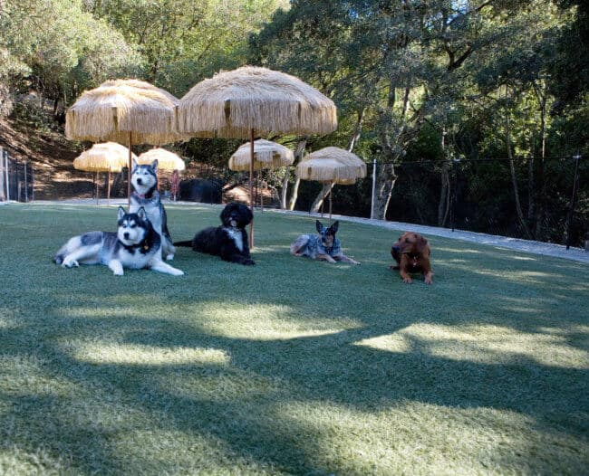 It's a doggie vacation at Club K9. Two Husky's, a Portuguese water dog and Queensland Heeler enjoying life.